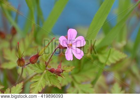 Pink And Purple Flower Of Geranium Robertianum. Plant Located On The Side Of A Forest Track Next To