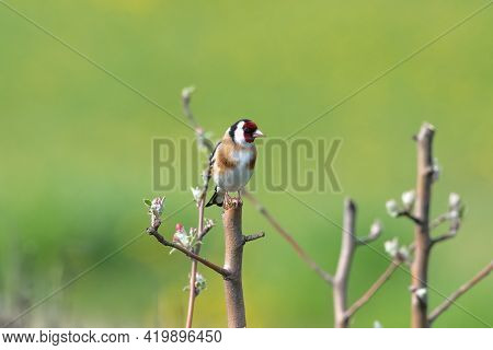 European Goldfinch (carduelis Carduelis) On A Tree Branch With Blurry Background