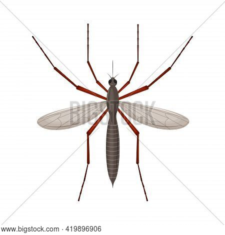 The Mosquito Is A Blood-sucking Insect. Top View. Detailed Vector Illustration Isolated On A White B