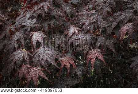 Water Droplets Hanging On The Leaves Of A Tree Known Both As A Crimson Acer And Japanese Maple Tree.