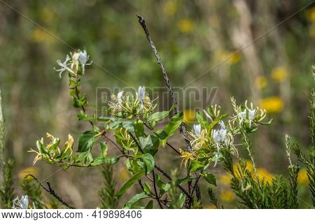 Beautiful Yellow And White Wild Honeysuckle Plant In Bloom Climbing Up And Wrapping Around Tree Bran