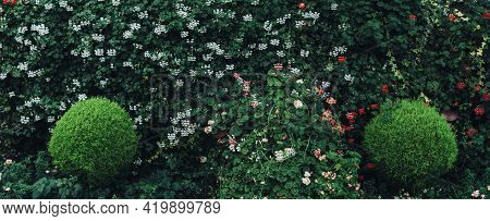 Green Hedge Of Leaves And Small Flowers. Landscape Design, Nature Background