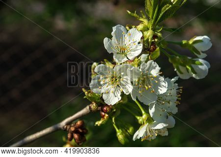 Blooming Garden In Spring. Blooming Cherry Orchard Tree. Spring Background. Spring Garden