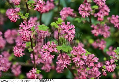 Beautiful Closeup Spring View Of Wild Red-flowering Currant (ribes Sanguineum) Pink Corolla And Yell