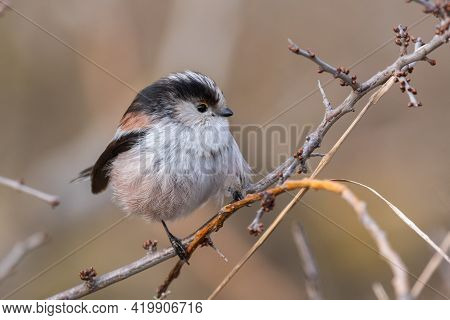 Long-tailed Tits Aegithalos Caudatus In The Wild.