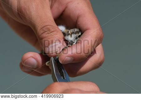Bird Banding By Ornithologists During Their Migration.