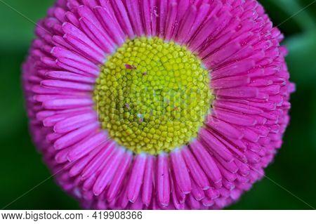 Beautiful Macro View Of Spring Yellow Stigma Of Single Pink Common Daisy (bellis Perennis) Flower Ba