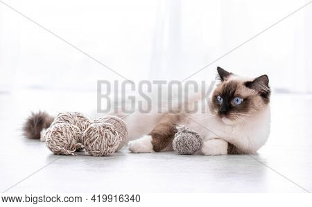 Adorable ragdoll cat with beautiful blue eyes lying on the floor with yarn balls and looking back. Portrait of breed feline pet with thread. Beautiful purebred domestic animal indoors