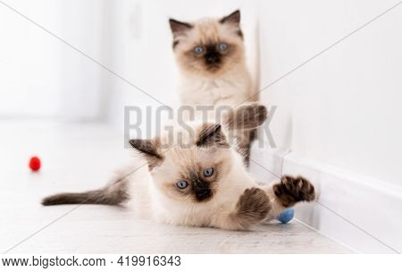 Two fluffy ragdoll kittens on the floor together playing with colorful balls. Portrait of american breed feline kitty pets with toys at home. Funny little purebred domestic cats indoors in white room