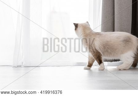 Beautiful fluffy ragdoll cat standing on the floor and looking out the window through curtains. Adorable feline pet at home in sunny day