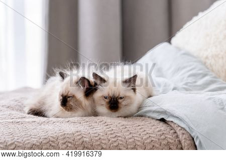 Cute fluffy ragdoll kittens sleeping together in the bed. Portrait of two american breed feline kitty resting at home with daylight. Little purebred domestic cats napping