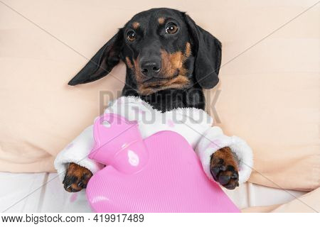 Poor Sick Dachshund Puppy In Pajamas Lying On Hospital Bed In Ward With Pink Heating Water Pad On It