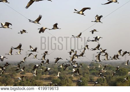 Large Flocks Of Demoiselle Cranes Also Known As Grus Virgo Flying Over Their Migrating Ground During