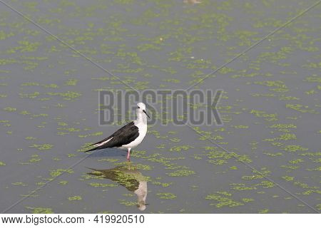 Close Up Black Winged Stilt Was Standing In The Swamp