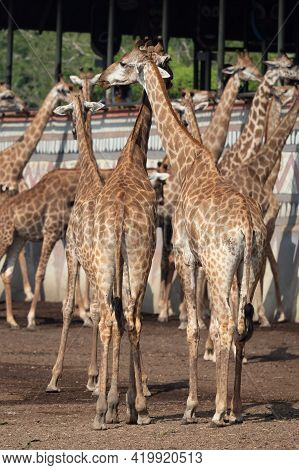 Close Up Group Of Giraffes Were Standing On The Ground