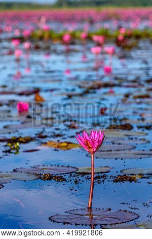 Beautiful Scenery Of Pink Lotus At Thale Noi Wetland In Phatthalung, Thailand. Thale Noi Wetland One