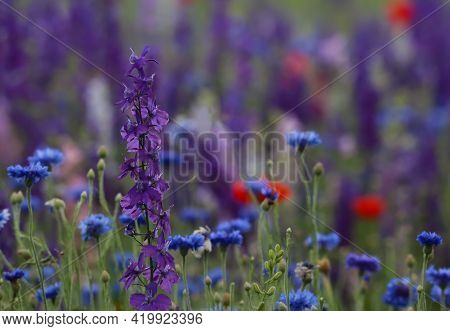 A Tall Pretty Purple Larkspur Flower In A Field Of Wildflowers Of Blue Bachelor Buttons And Red Popp