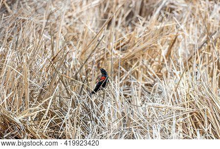 Red-winged Blackbird (agelaius Phoeniceus) Perching On Dry Grass In Barr Lake State Park, Brighton,
