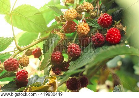 Ripe Red Raspberries Ripening On The Bush. The Berry Bush Is Illuminated By The Suns Rays. Close-up.