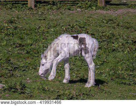 Foal Of Irish Cob Grazing On Pasturage