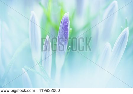 Beautiful Dreamy Scene With A Little Crocus At Soft Background At The End Of The Winter.
