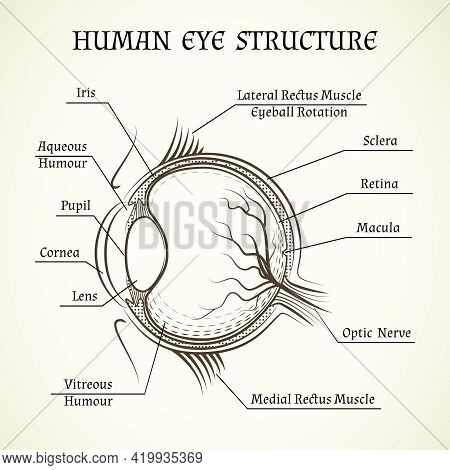 Vector Structure Of The Human Eye. Anatomy And Medicine, Iris And Pupil, Lens And Macula, Aqueous Hu