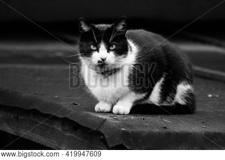Black And White Cat Sitting On The Roof. Photo On The Theme Pets, Animal Shelters, Trapping Services