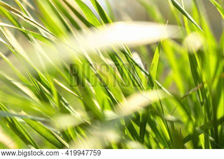 Fresh Spring Or Summer Wild Growing Green Grass In A Meadow In The Park And Bright Sun Light Close U