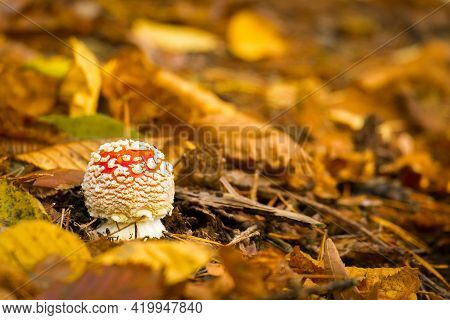 Amanita Muscaria In The Woods. Small Mushroom With Fallen Autumn Leaves. Photo Theme Is Autumn, Mush