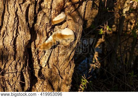 Polypore Fungus Grows On An Old Tree Trunk.