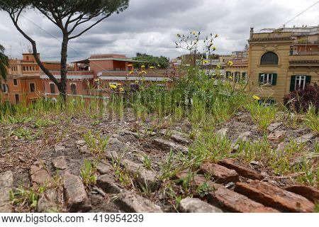 Wild Herbs On Ancient Brick Walls In Rome, Italy