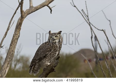 Watchful Great Horned Owl