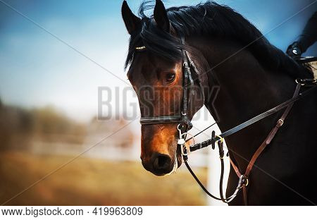 Portrait Of A Bay Horse With A Dark Mane, A Bridle On The Muzzle And A Rider In The Saddle, Which Ga
