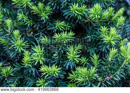 Close up form green bush needles on spring outdoor