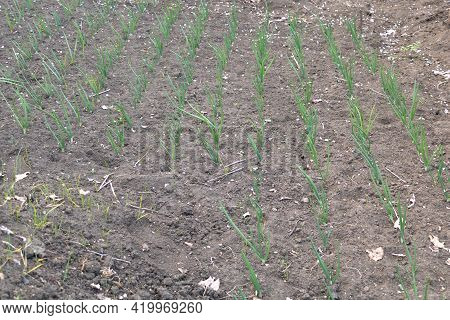 Tiny Onion Seedlings In The Garden Recently Germinated