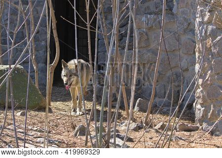 Close Up Portrait Of A Gray Wolf While Jogging On A Rocky Trail. The Gray Wolf, Is A Large Canine Na