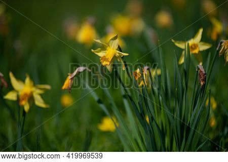 Yellow Narcissus (narcissus Poeticus) With A Yellow Core Bloom In The Garden In April. A Large Field