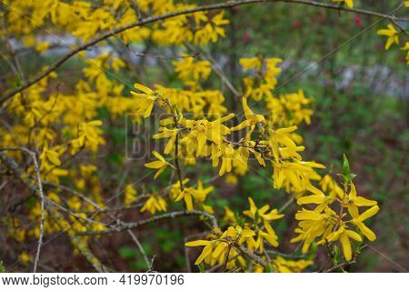 Close Up Of A Branch Of Blooming Yellow Flowers Of Cytisus Scoparius, The Common Broom Or Scotch Bro