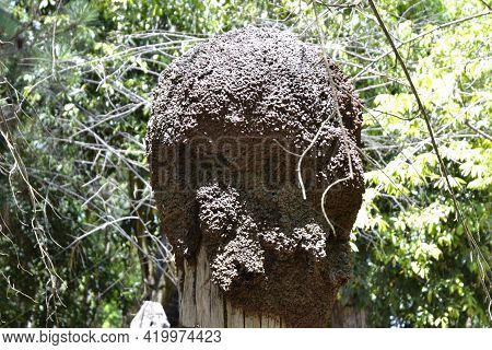 Termite Mound. Termite Mounds On Tree Trunks Usually Bring Damage And Devaluation Of The Property To
