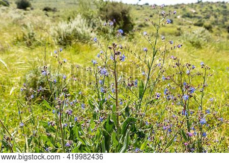 Bushes With Lots Of Small Fresh Blue Flowers Grow In The Meadow Near The Excavations Of The Ancient