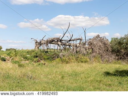 The Large Fallen Dry Tree Near The Excavations Of The Ancient Burial Caves Of The Sidonian Near The