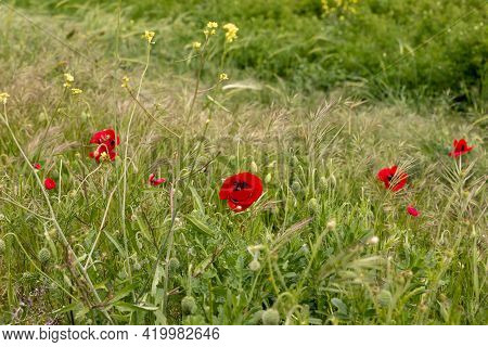 Red Wild Field Poppies Grow In The Meadow In Spring, Near The Excavations Of The Ancient Maresha Cit