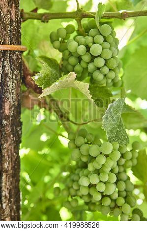 Bunches Of Grapes Detail In Ribeira Sacra. Galicia, Spain Agriculture