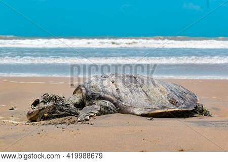 Tortoise Died In Indian Ocean. Sad To Share, In The Indian Ocean Tortoise (turtle), Swam To Shore An