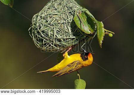 A male lesser masked weaver (Ploceus intermedius) hanging below its nest, South Africa