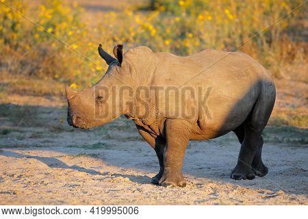 A young white rhinoceros (Ceratotherium simum) calf in natural habitat, South Africa