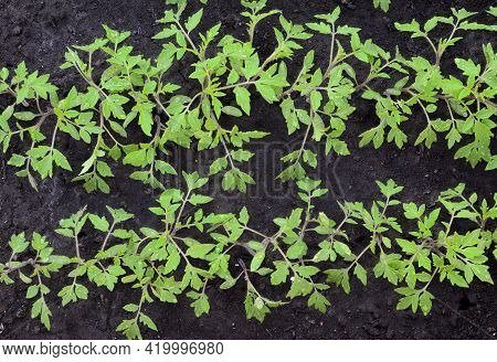 Young Tomatoes Seedlings In The Garden, In The Greenhouse In Spring. Concept Of Ecology, Cultivation