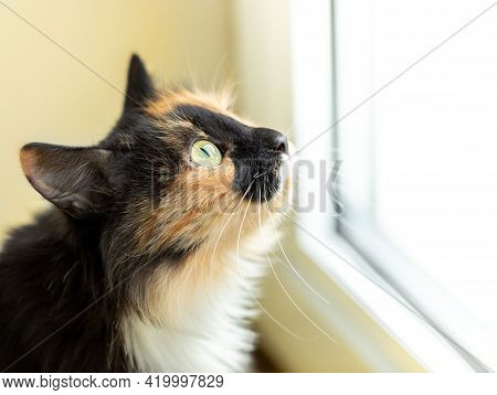 Long-haired Three-color Orange-black-and-white Cat Closely Looking Out The Window.