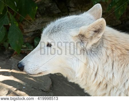 Tundra Wolf (canis Lupus Albus), Also Known As The Turukhan Wolf Is A Subspecies Of Grey Wolf Native