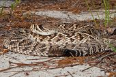An Eastern Diamondback Rattlesnake flattened out relying on his cryptic coloration to avoid detection. poster